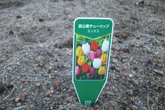 チューリップが咲くよ