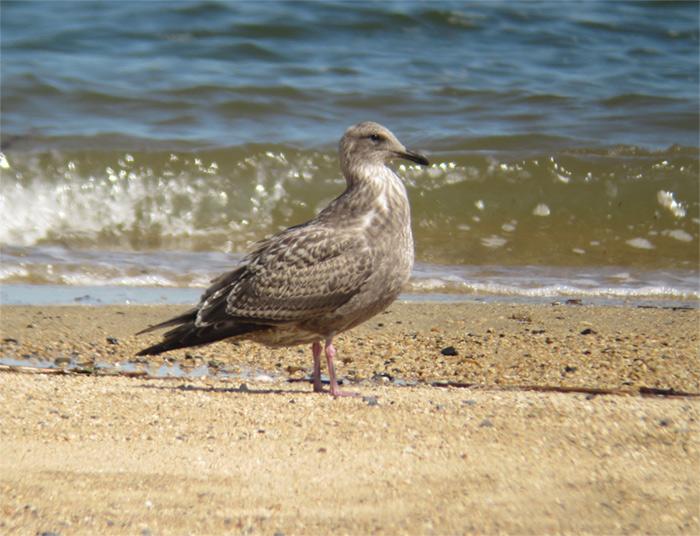 オオセグロカモメ幼鳥IMG_567