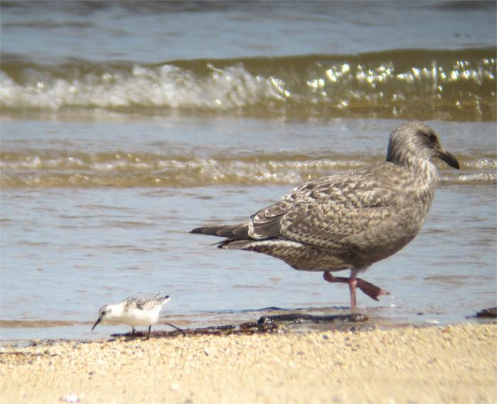 オオセグロカモメ幼鳥IMG_589