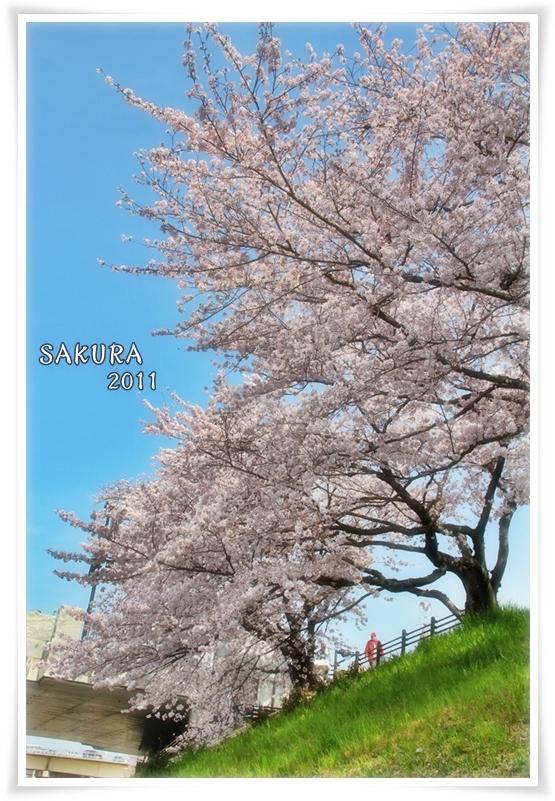 sakura_20110429171819.jpg