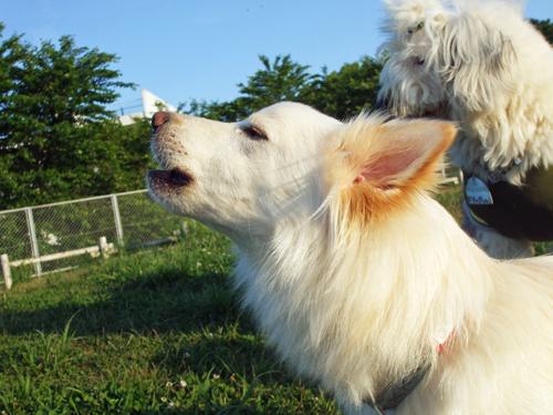 ヨーデル犬
