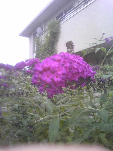 今朝の花/090915