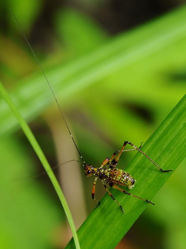 アシグロツユムシの若令幼虫