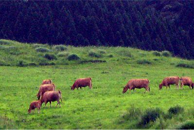 takamori-cow