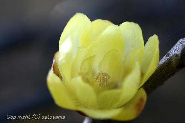 ロウバイ花アップ2007