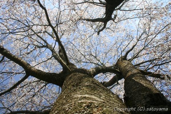 桜を仰ぎ見る