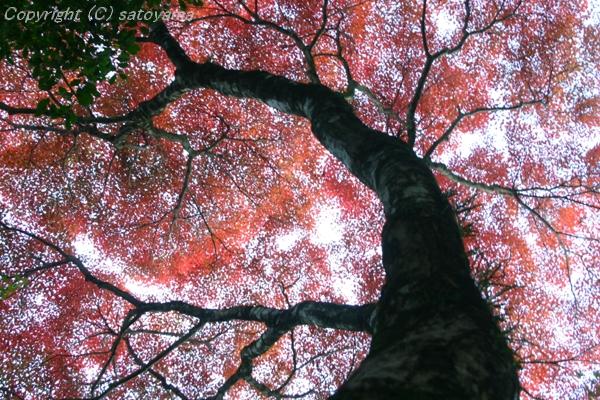 空一杯の紅葉