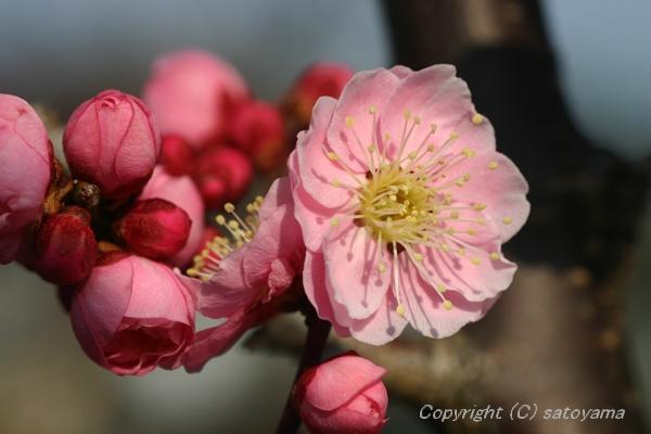 紅梅咲き時