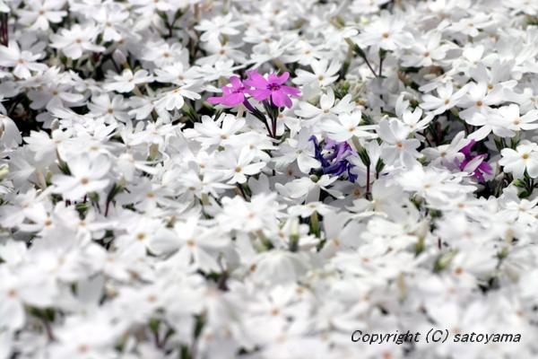 芝桜2008