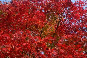 真紅の紅葉