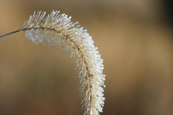 霜(エノコログサ)