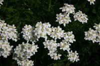 スイスの白い花