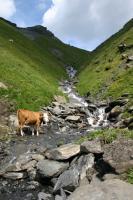 スイス 小川と牛