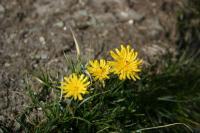 スイスの山に咲く花