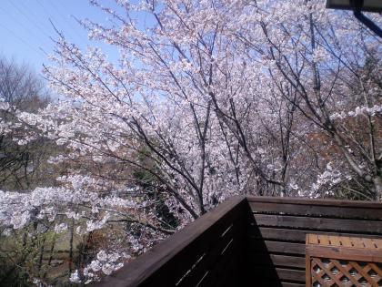 庭の桜 (86)