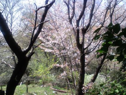 庭の桜 (58)
