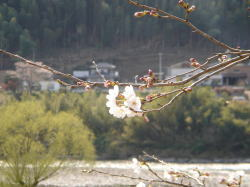 桜つぼみ3-1