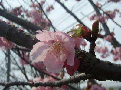 20120405桜