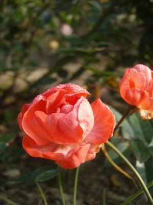 20111215福山ばら公園03