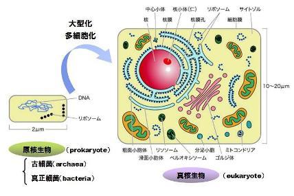 mitochondria-1