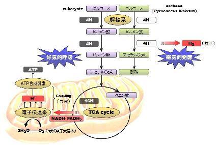 mitochondria-7