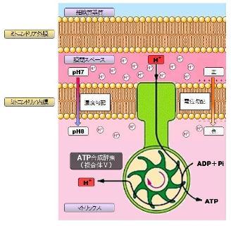 mitochondria-6