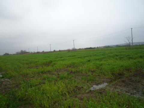 P1020741小麦畑