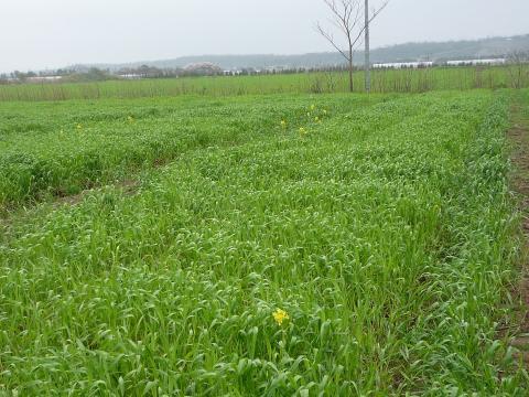 P1020752麦と花