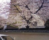 090331 寺町の桜 1