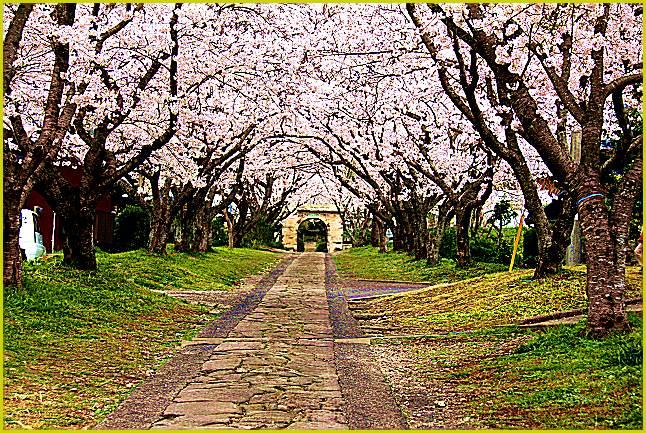 円応寺の桜並木参道