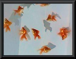 金魚が・・・