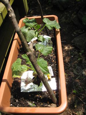 胡瓜植えてみました1