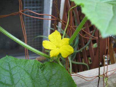 胡瓜の花 咲く1