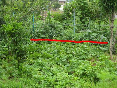 ジャガイモを収穫2