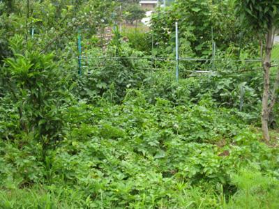 ジャガイモを収穫1