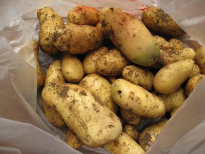 ジャガイモを収穫3