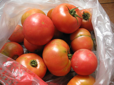 トマトを収穫1