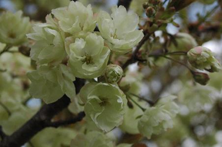 緑の桜14