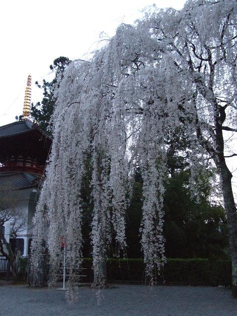 コピー ~ 2008_0404桜の身延山0029