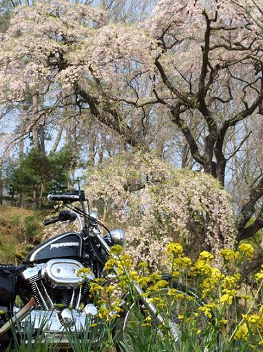 2008_0423三春滝桜ツー0019