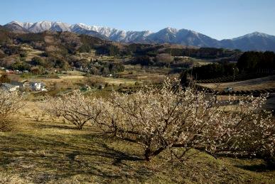 梅の花と表尾根