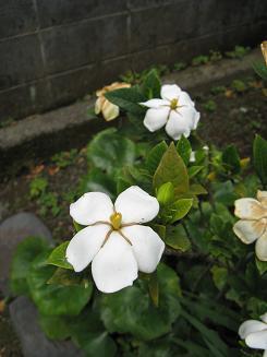 kuchinashi.jpg