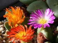 Conophytum 交配渦花の群開