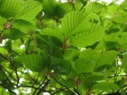 ブナに似た木の若葉