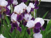 ジャーマンアイリス 白・紫 090528_cIMG_0208