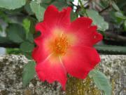 バラ 一重 赤・黄 09530_cIMG_0221