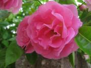 バラ・つる ピンク09530_cIMG_0281