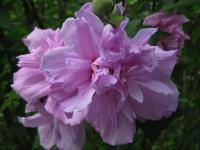 ムクゲ 紫花笠 090720_cIMG_2312