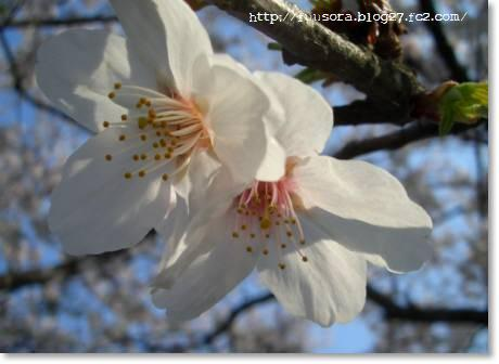 桜2009 005