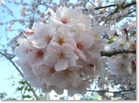 桜2009 010